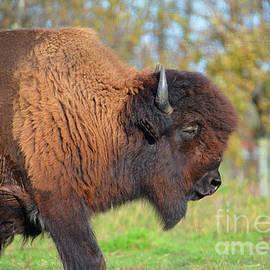Buffalo 1 by Cindy Manero