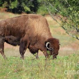 Buffalo Grazing by Cindy Manero