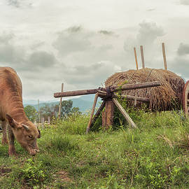 Buffalo grazing in a meadow with straw carriage by Sergio Florez Alonso