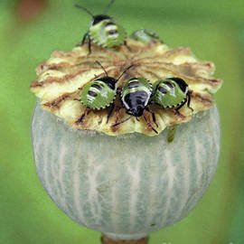 Bugs On Poppy Seed Pod by Kim Tran