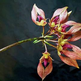 Bulbophyllum A-Dorabil 'Candy Ann' Orchid in Bloom by Susan Maxwell Schmidt