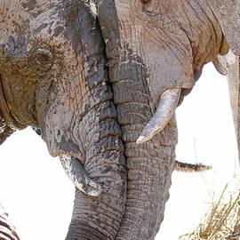 Bull Elephant Geeting Each Other by MaryJane Sesto