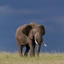 Bull elephant in the grasslands by Murray Rudd