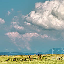 Bull Elk In Montana by Gary Beeler