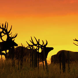 Bull Elk Jumping Fence At Sunrise by Gary Beeler