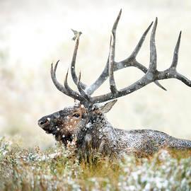 Bull Elk with Bird by Judi Dressler