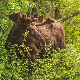 Bull Moose Portrait by Garth Steger