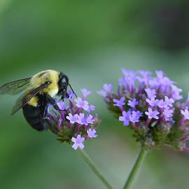 Bumble Bee Infatuation  by Mary Lynn Giacomini