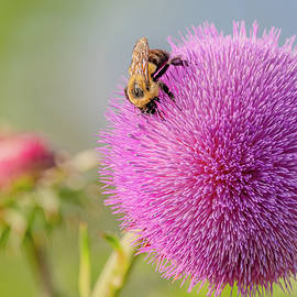 Bumble Bee on Musk Thistle #2 by Morris Finkelstein