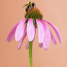 Honeybee on Echinacea by Tran Boelsterli