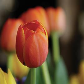 Tulips in Bokeh by Yvonne Wright