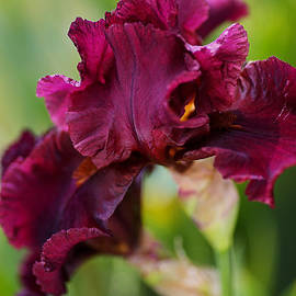 Burgundy Bearded Iris  by Joy Watson