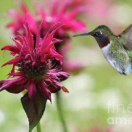 Burgundy Bee Balm and Ruby-throated Hummingbird by Sandra Huston