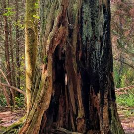 Burned Old Growth Stump by Jerry Abbott