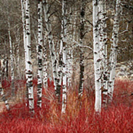 Burning Bush ... by Judy Foote-Belleci