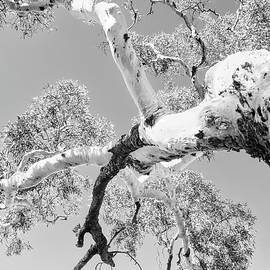 Burnt Ghost Gum - Kings Canyon - BW by Lexa Harpell