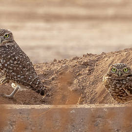 Burrowing Owl Couple by MaryJane Sesto