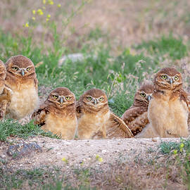 Burrowing Owl Family Portrait by Matthew Alberts