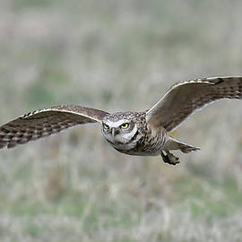 Burrowing Owl in Flight by Karen Slagle
