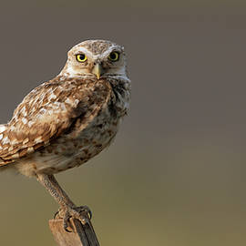 Burrowing owl perched by Gary Langley