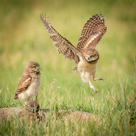 Burrowing Owl Siblings by Judi Dressler