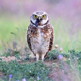 Burrowing Owl with Cricket by Judi Dressler