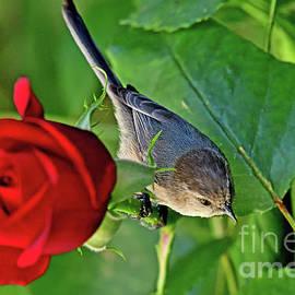 Bushtit on a Rose by AmazingActionShots Photography