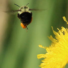Busy Bumble Bee by Brian Baker
