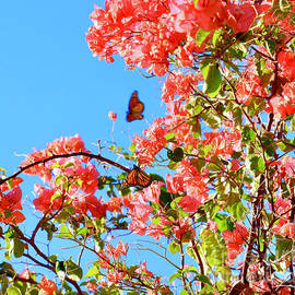 Butterflies and Bougainvillea by Craig Wood