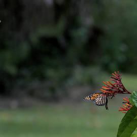Butterflies   by Chris Mercer