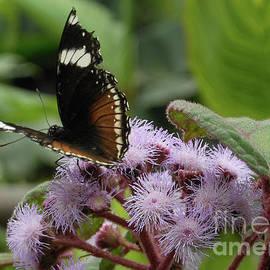 Butterfly Feasting by Kathryn Jones