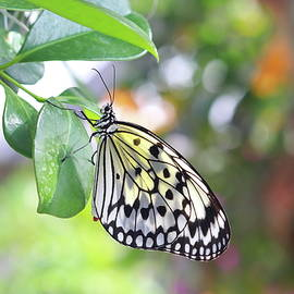 Butterfly hanging on a leaf  by Dianna Tatkow