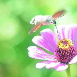 butterfly Hummingbird Hawk-Moth on a flower by Alyoshin Evgeniy