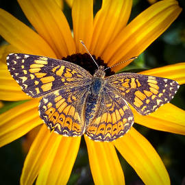Butterfly on a Blackeyed Susan  by Joseph Rouse