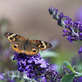 Butterfly on Blossom 4 by Daniel Beard