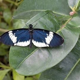 Butterfly on Leaf by Karen Sturgill
