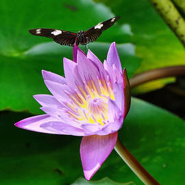 Butterfly On Waterlily by Rick Davis