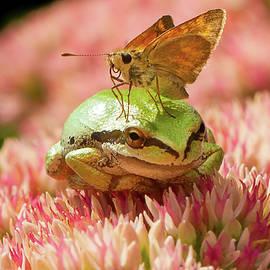 Skipper Butterfly Resting on Tree Frog by Jean Noren