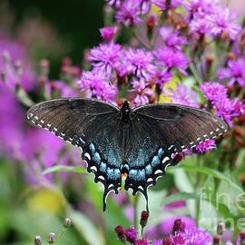 Butterfly Swallowtail Eastern Tiger Dark Female by Eva Kaufman