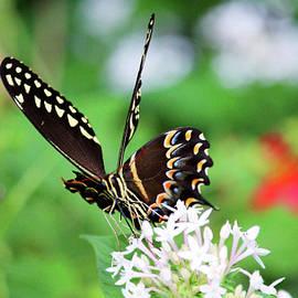 Butterfly Wings by Cynthia Guinn