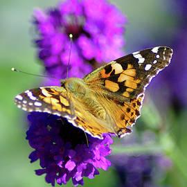 Butterfly Wings Spread by John Hughes