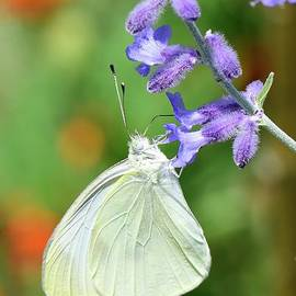 Cabbage white butterfly by Igor Aleynikov