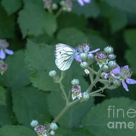 Cabbage White Butterfly by Michelle Meenawong