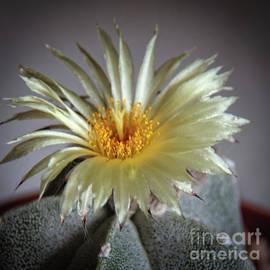 Cactus Bloom by Robert Bales