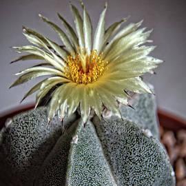 Cactus Blooming by Robert Bales
