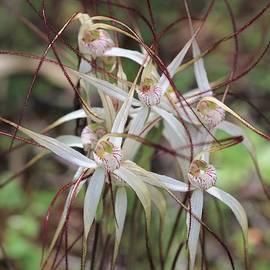 Caladenia longicauda Clump by Michaela Perryman