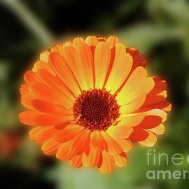 Calendula Beauty by Kathryn Jones