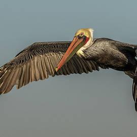 California Brown Pelican 1 by MaryJane Sesto