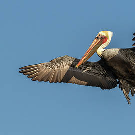 California Brown Pelican 6 by MaryJane Sesto