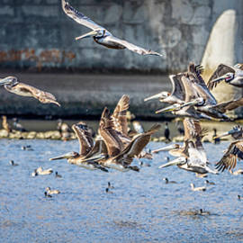 California Brown Pelicans In Flight - Panorama by Gene Parks